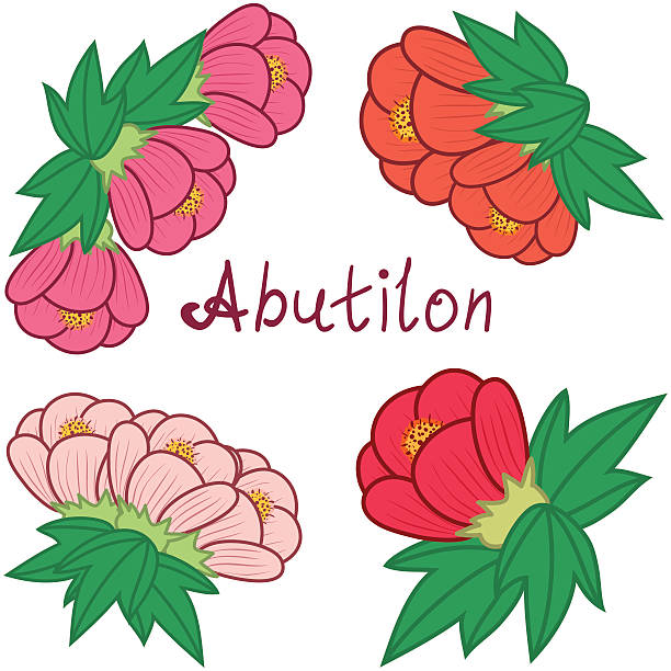 Abutilon clipart #20, Download drawings