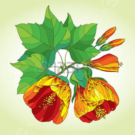 Abutilon clipart #12, Download drawings