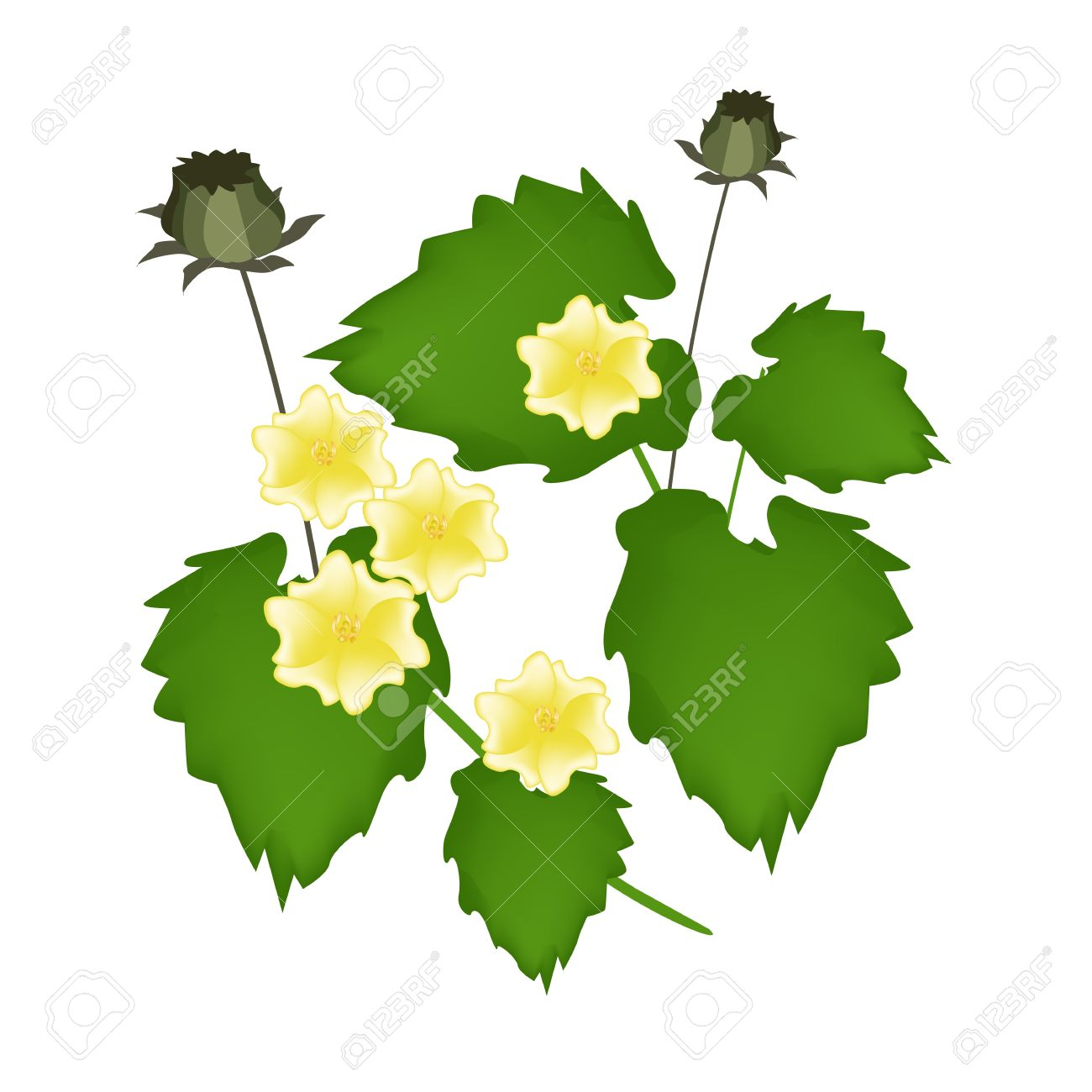 Abutilon clipart #14, Download drawings