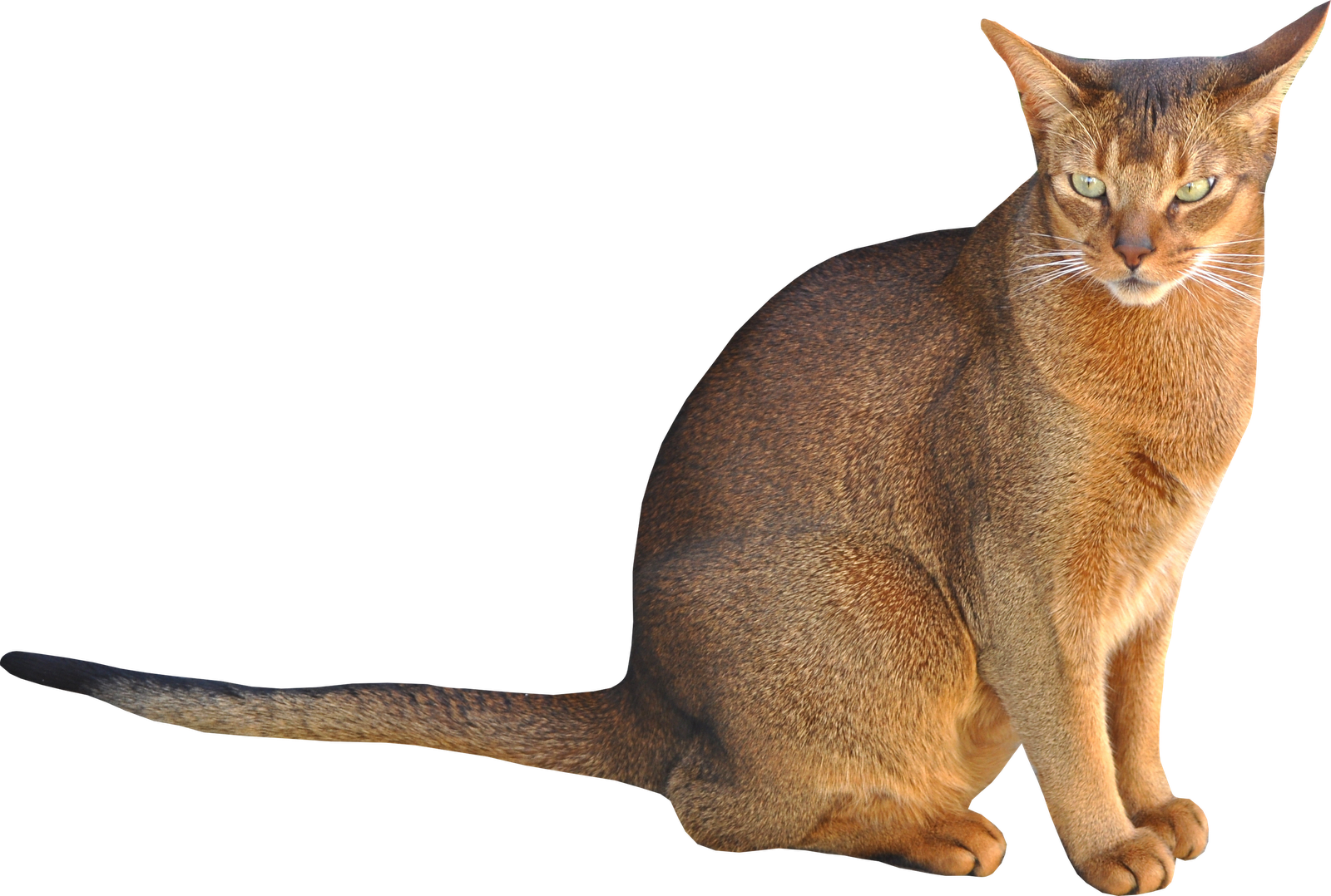 Abyssinian Cat clipart #14, Download drawings
