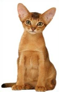 Abyssinian Cat clipart #9, Download drawings