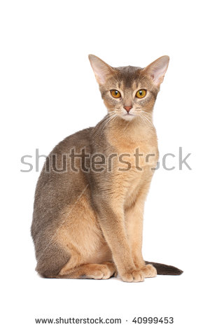 Abyssinian Cat clipart #17, Download drawings
