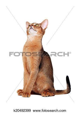 Abyssinian Cat clipart #19, Download drawings