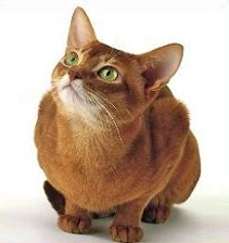 Abyssinian Cat clipart #2, Download drawings