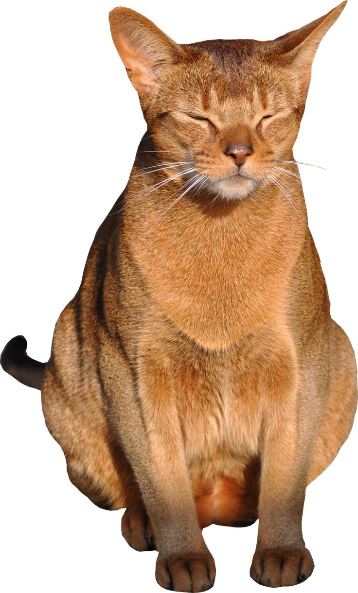 Abyssinian Cat clipart #5, Download drawings