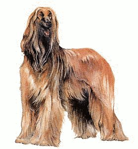 Afghan Hound clipart #6, Download drawings