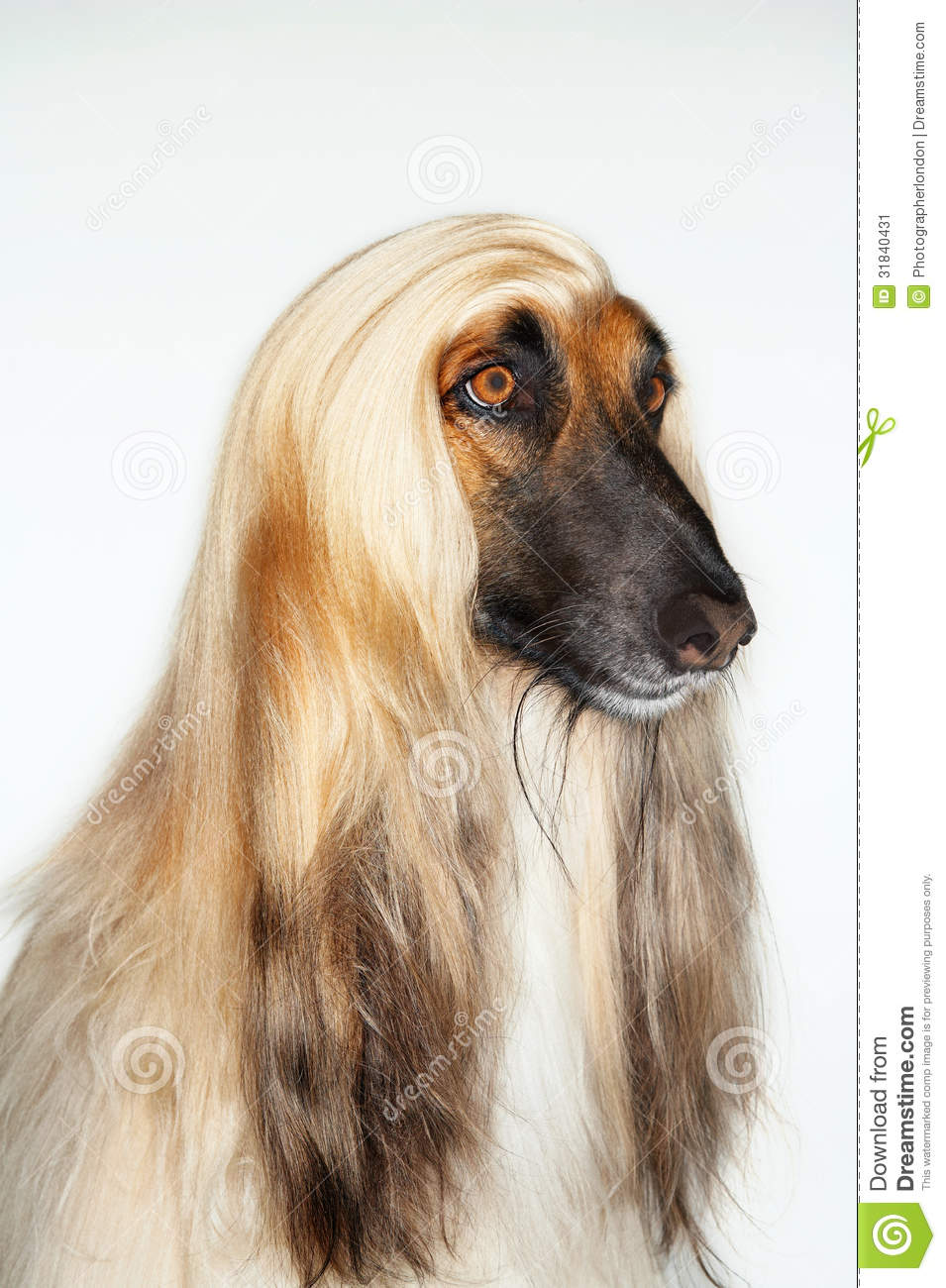 Afghan Hound clipart #10, Download drawings