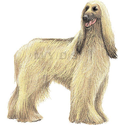 Afghan Hound clipart #19, Download drawings