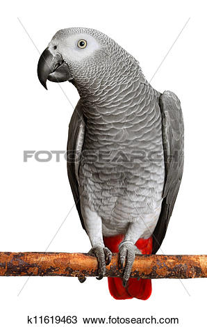 African Grey Parrot clipart #11, Download drawings
