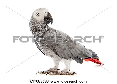 African Grey Parrot clipart #9, Download drawings