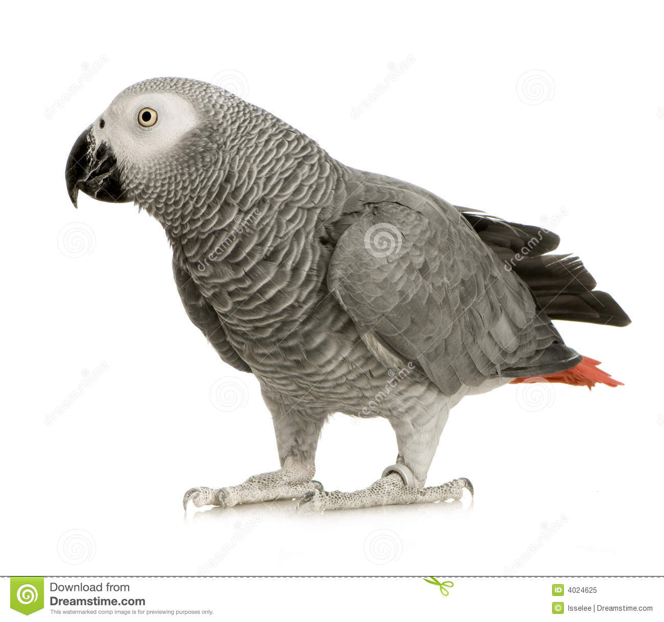 African Grey Parrot clipart #3, Download drawings