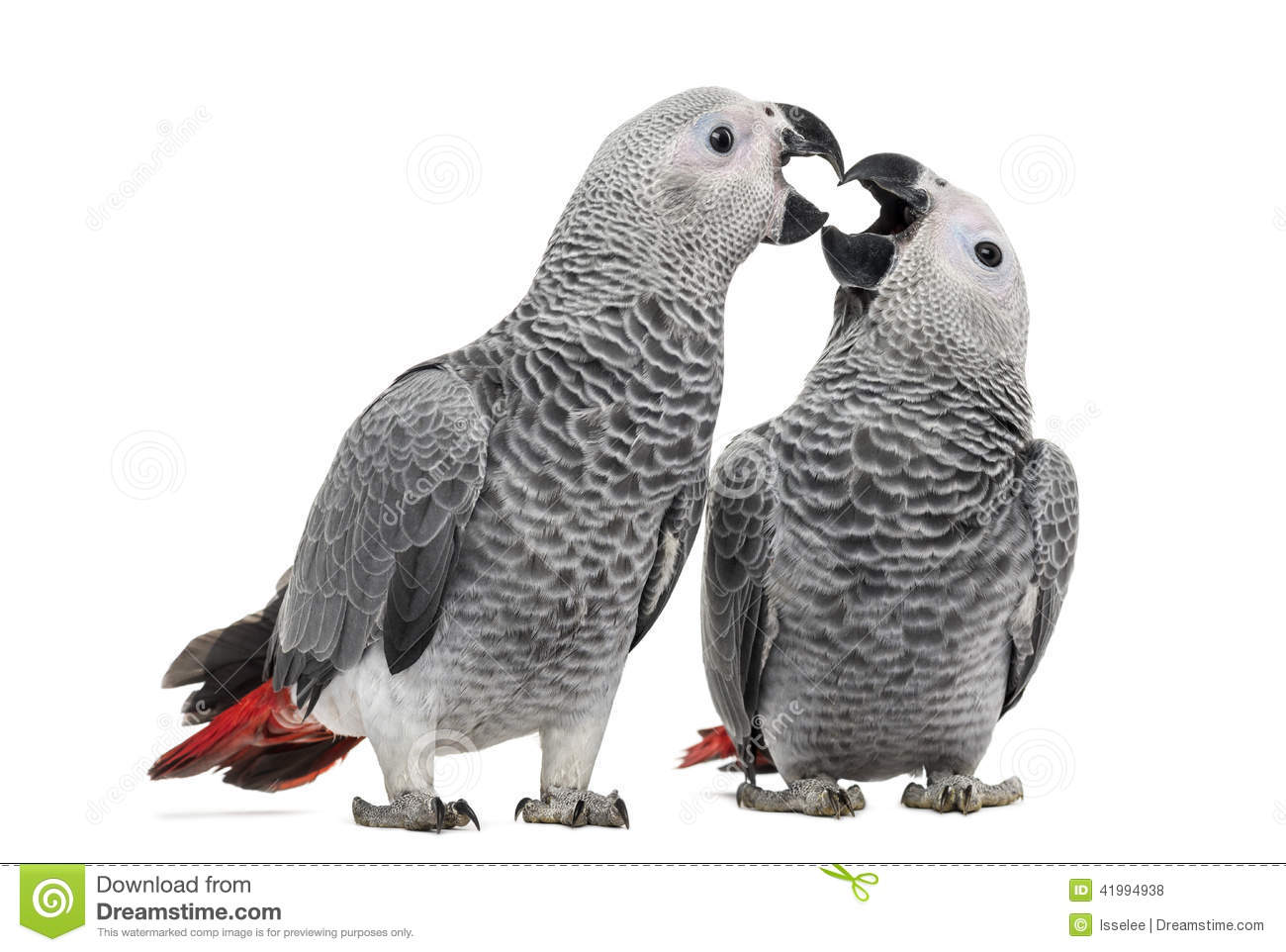 African Grey Parrot clipart #4, Download drawings