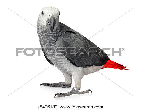 African Grey Parrot clipart #17, Download drawings