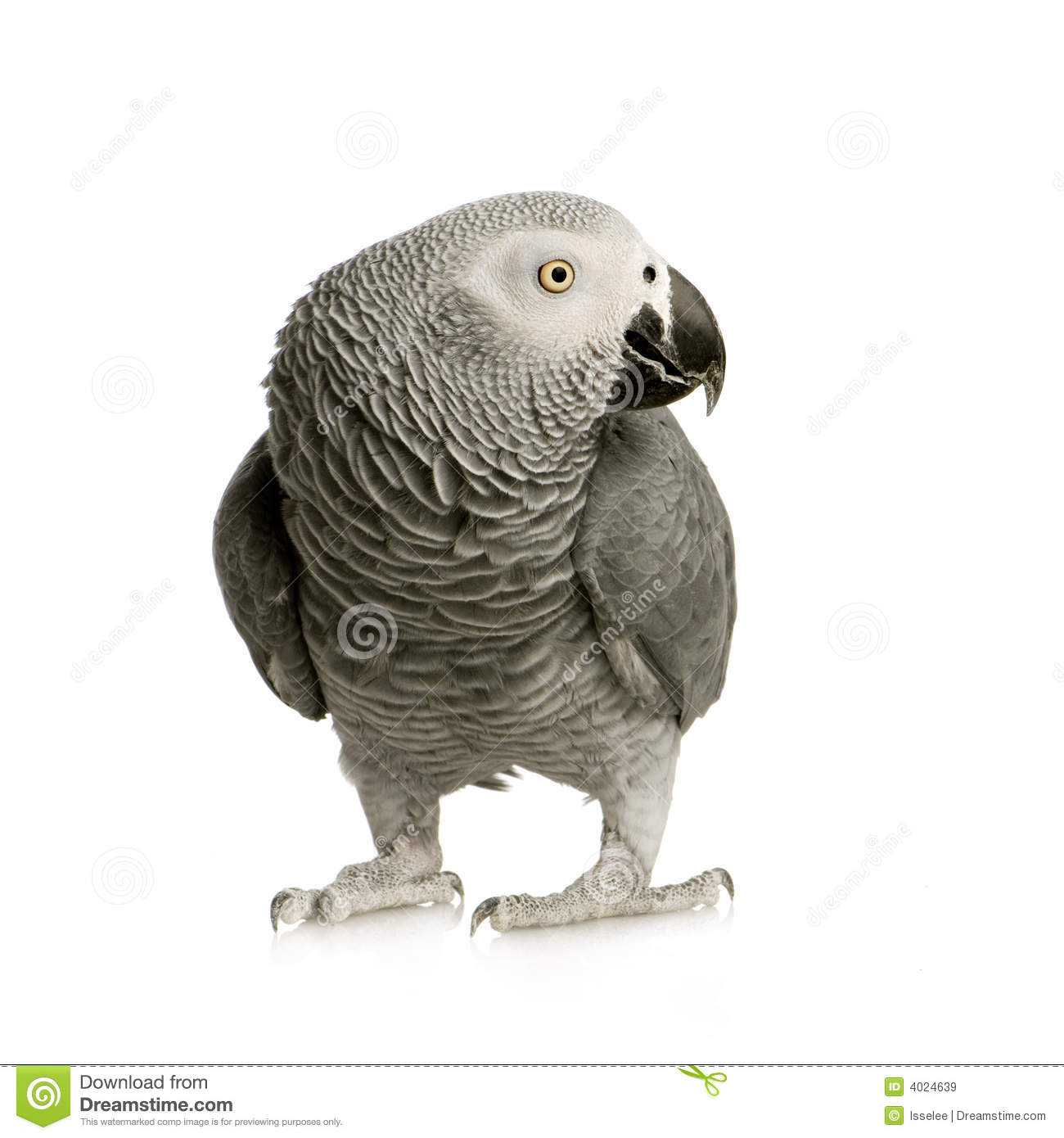 African Grey Parrot clipart #16, Download drawings