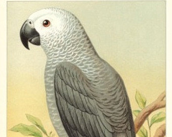 African Grey Parrot svg #12, Download drawings