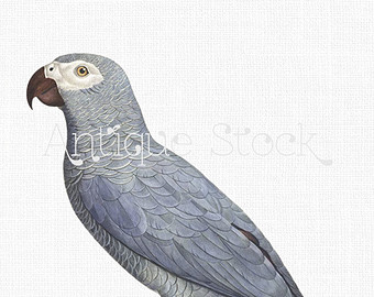 African Grey Parrot svg #7, Download drawings