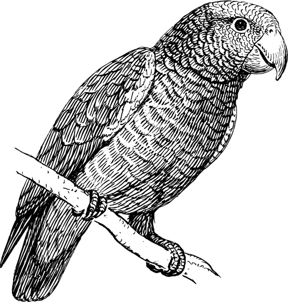 African Grey Parrot svg #17, Download drawings