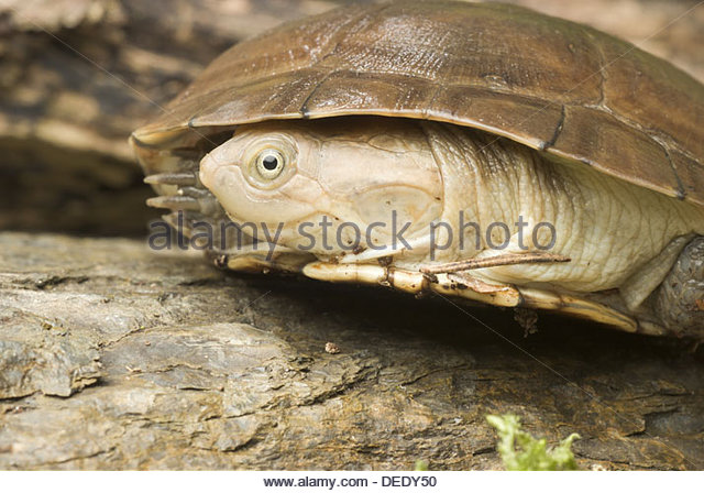 African Helmeted Turtle clipart #19, Download drawings