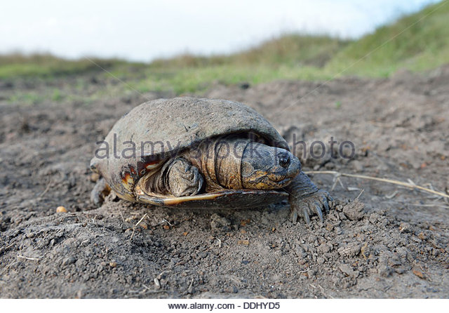 African Helmeted Turtle clipart #6, Download drawings