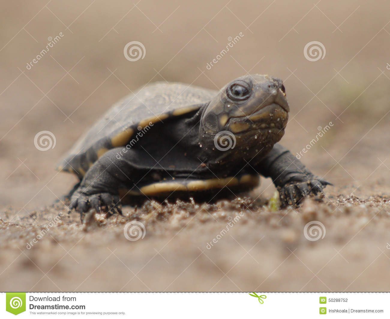 African Helmeted Turtle clipart #7, Download drawings