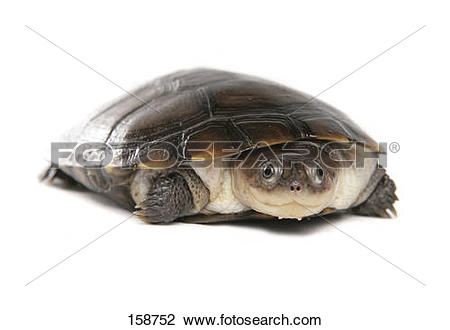 African Helmeted Turtle clipart #3, Download drawings