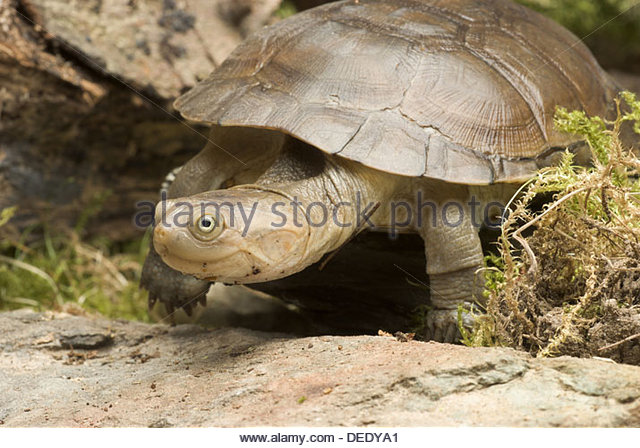 African Helmeted Turtle clipart #15, Download drawings