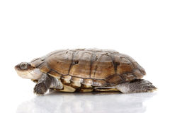 African Helmeted Turtle clipart #2, Download drawings