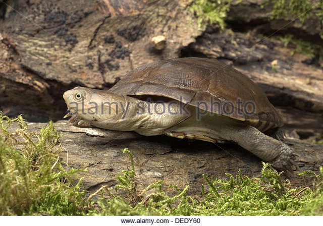 African Helmeted Turtle clipart #14, Download drawings