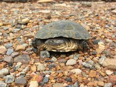 African Helmeted Turtle svg #3, Download drawings