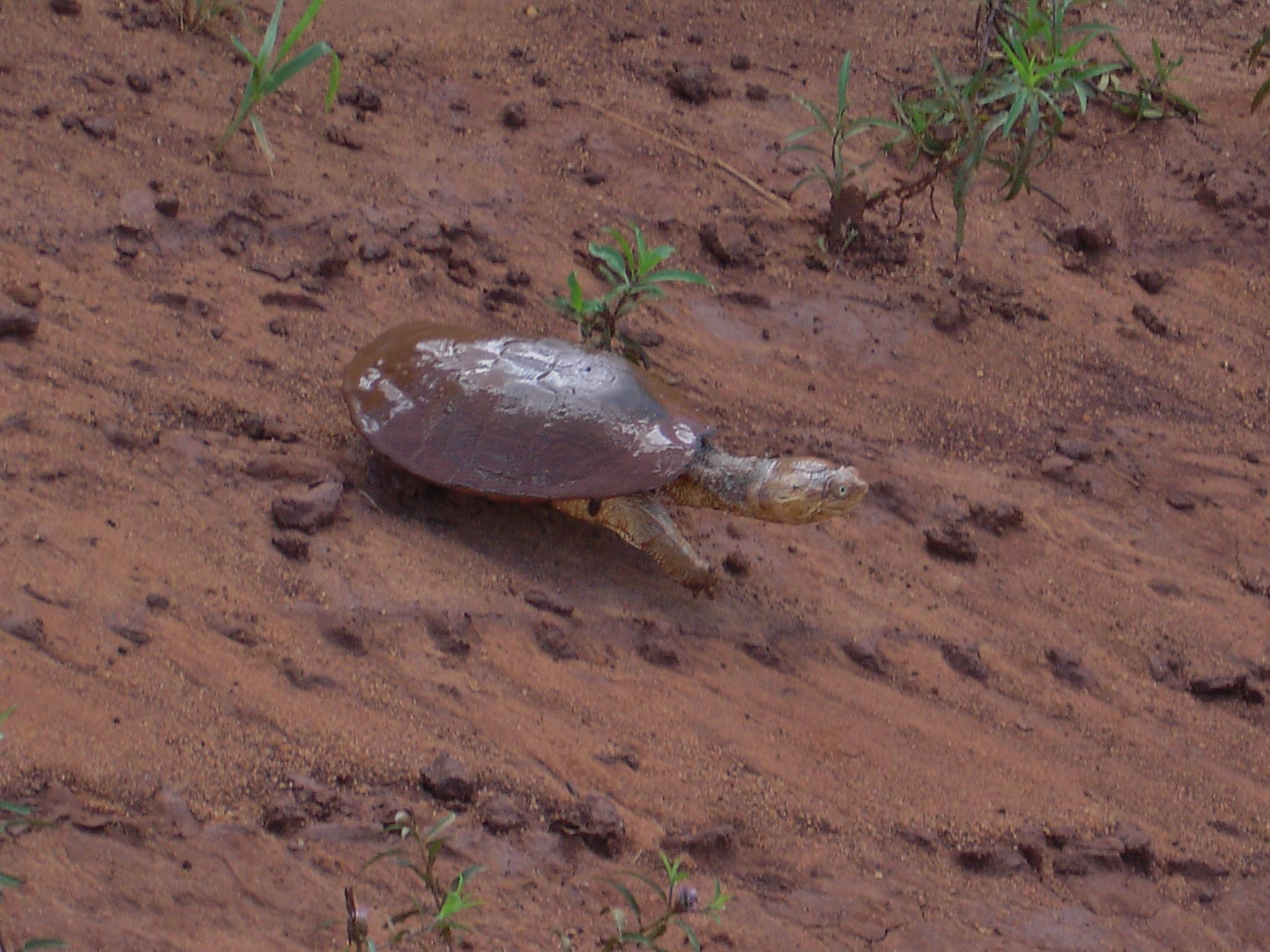 African Helmeted Turtle svg #17, Download drawings