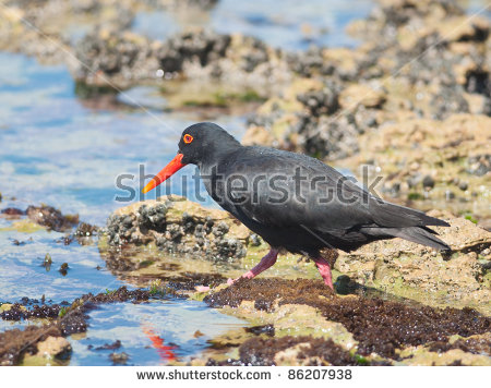 African Oyster Catcher clipart #19, Download drawings