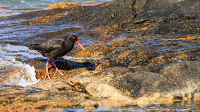 African Oyster Catcher clipart #14, Download drawings