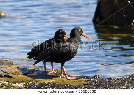 African Oyster Catcher clipart #5, Download drawings