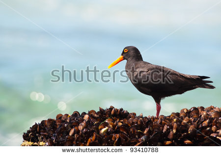 African Oyster Catcher clipart #4, Download drawings