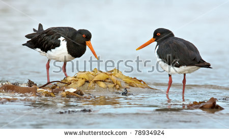 Oyster Catchers coloring #9, Download drawings