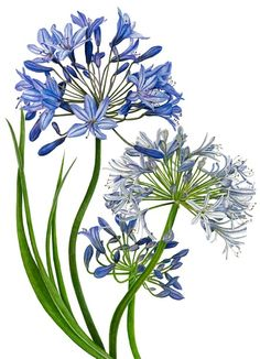 Agapanthus clipart #20, Download drawings