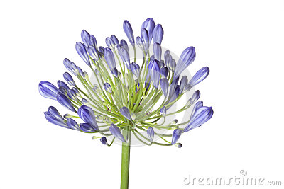 Agapanthus clipart #13, Download drawings