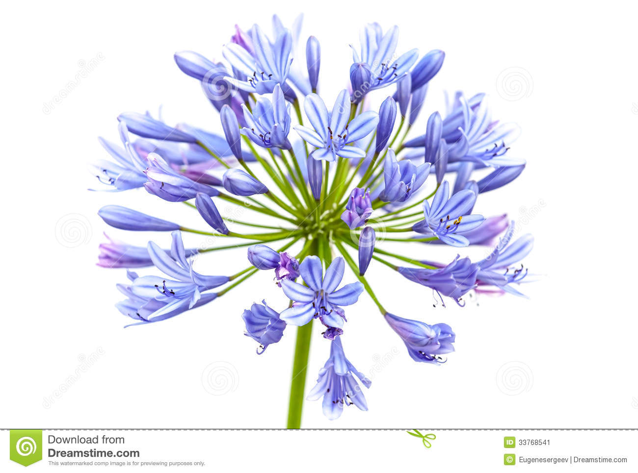 Agapanthus clipart #14, Download drawings