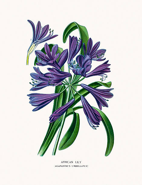 Agapanthus clipart #9, Download drawings