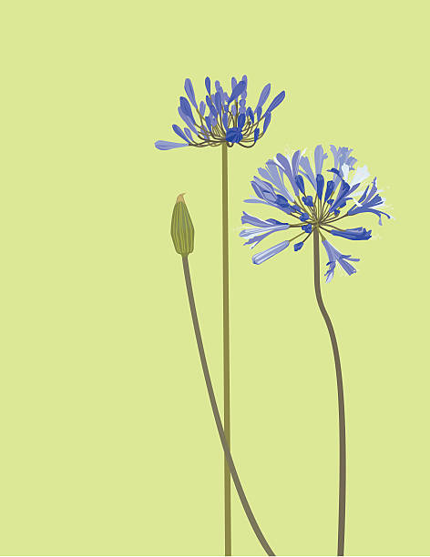Agapanthus clipart #6, Download drawings