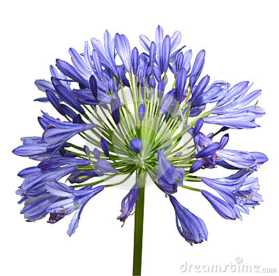 Agapanthus clipart #19, Download drawings