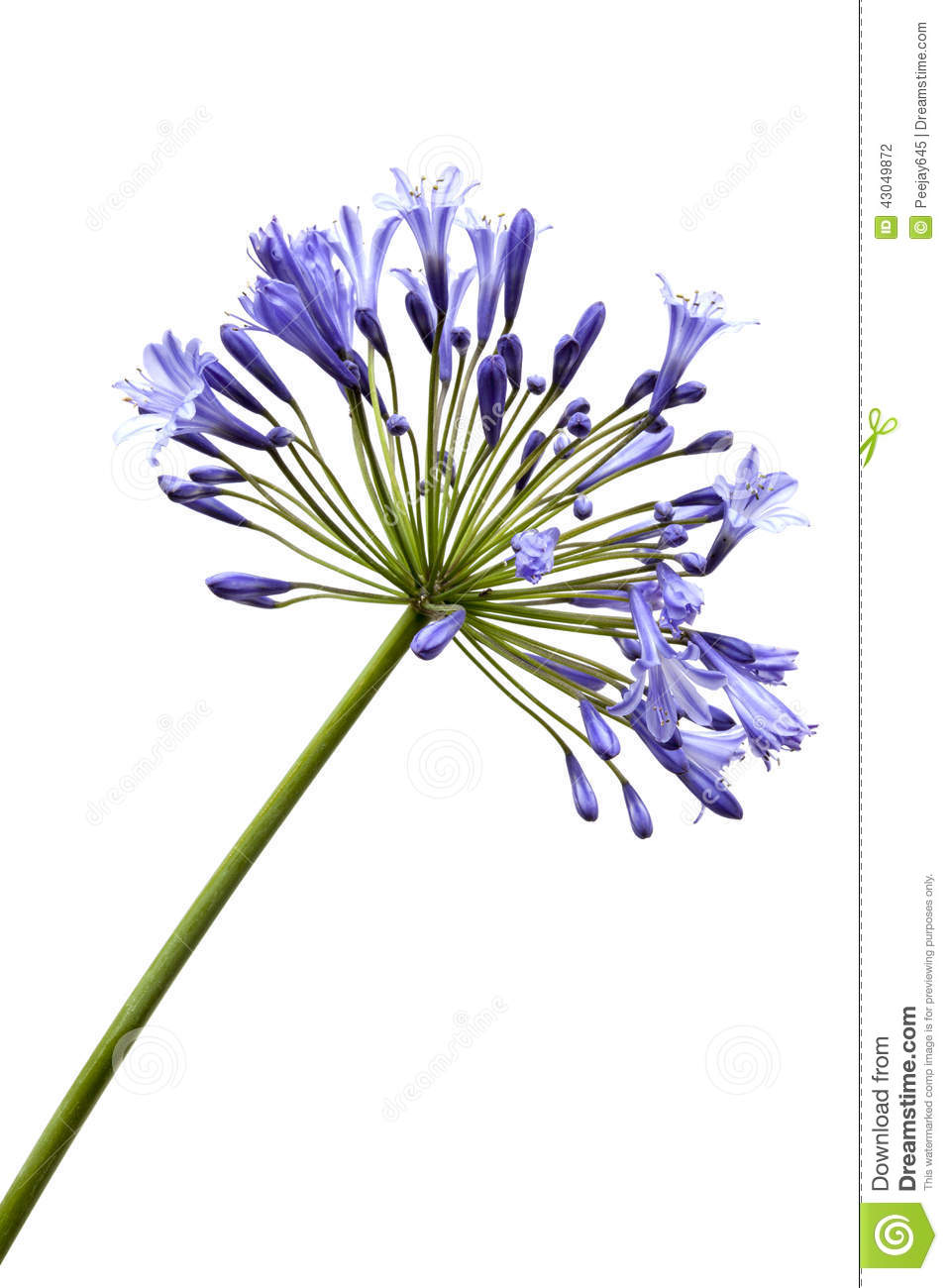 Agapanthus clipart #17, Download drawings