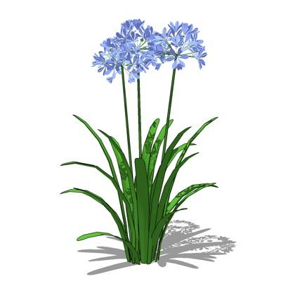 Agapanthus clipart #10, Download drawings