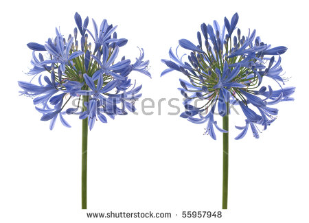 Agapanthus clipart #12, Download drawings