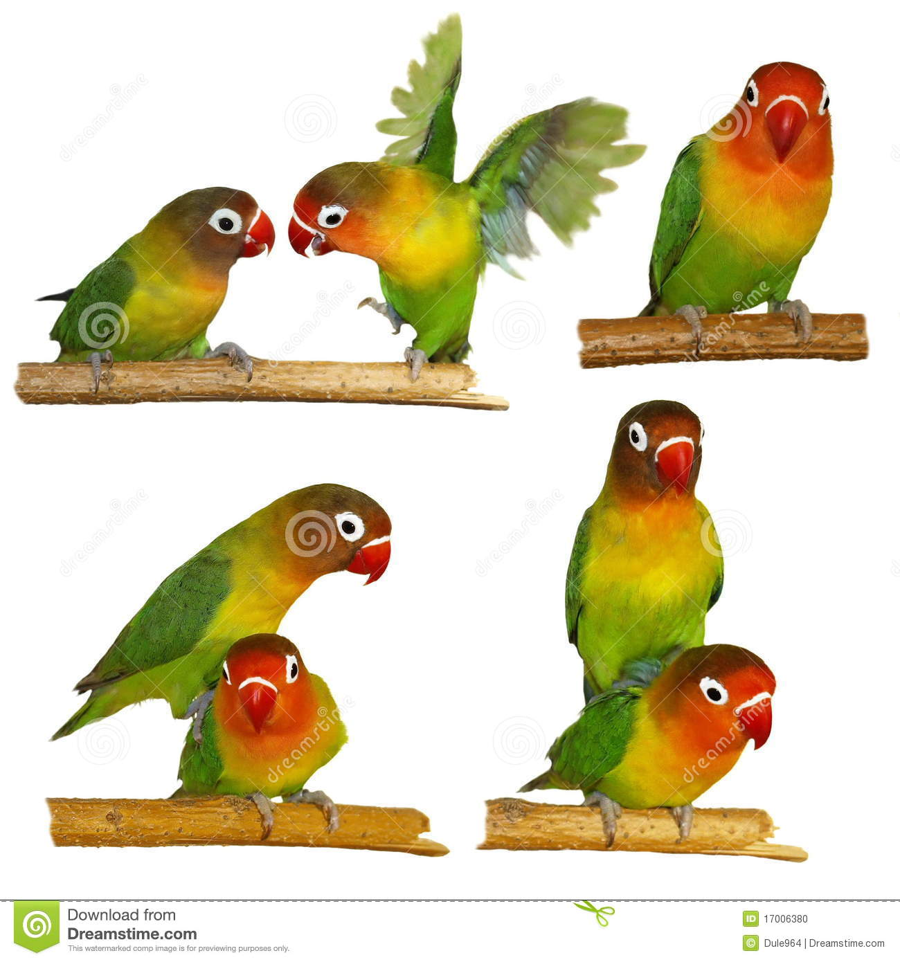 Agapornis clipart #16, Download drawings
