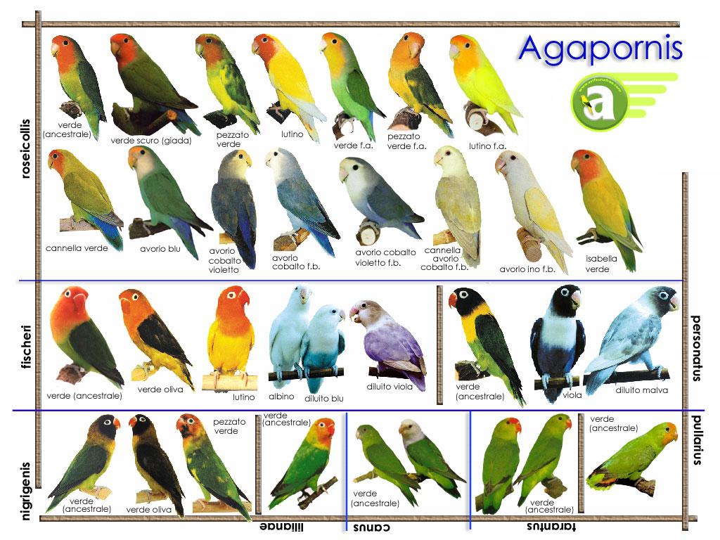Agapornis coloring #19, Download drawings