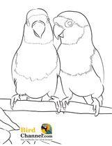 Agapornis coloring #4, Download drawings