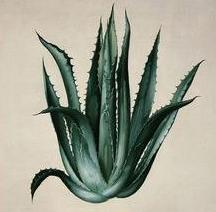Agave clipart #12, Download drawings