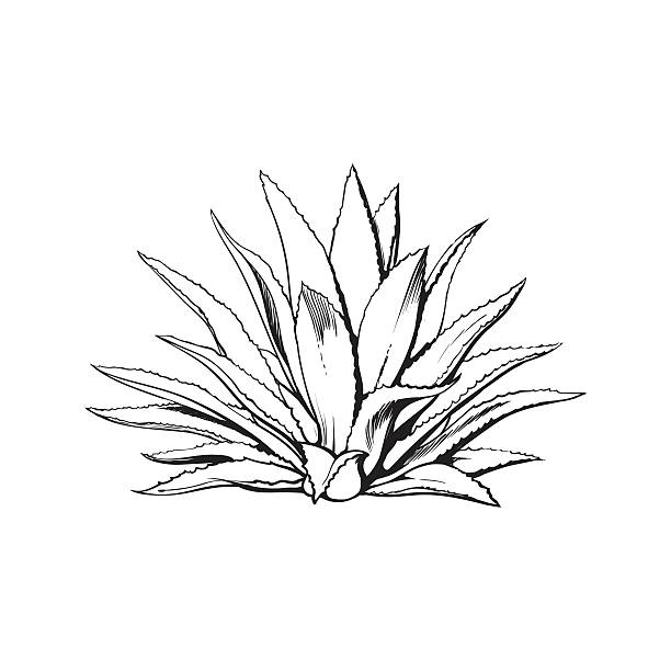 Agave clipart #11, Download drawings
