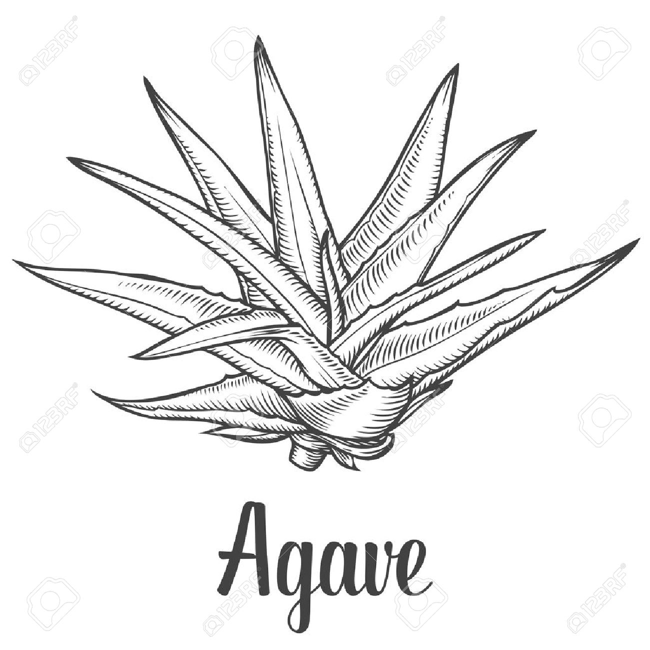 Agave clipart #15, Download drawings